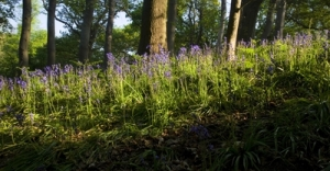 large_Bluebells_C._Hoare